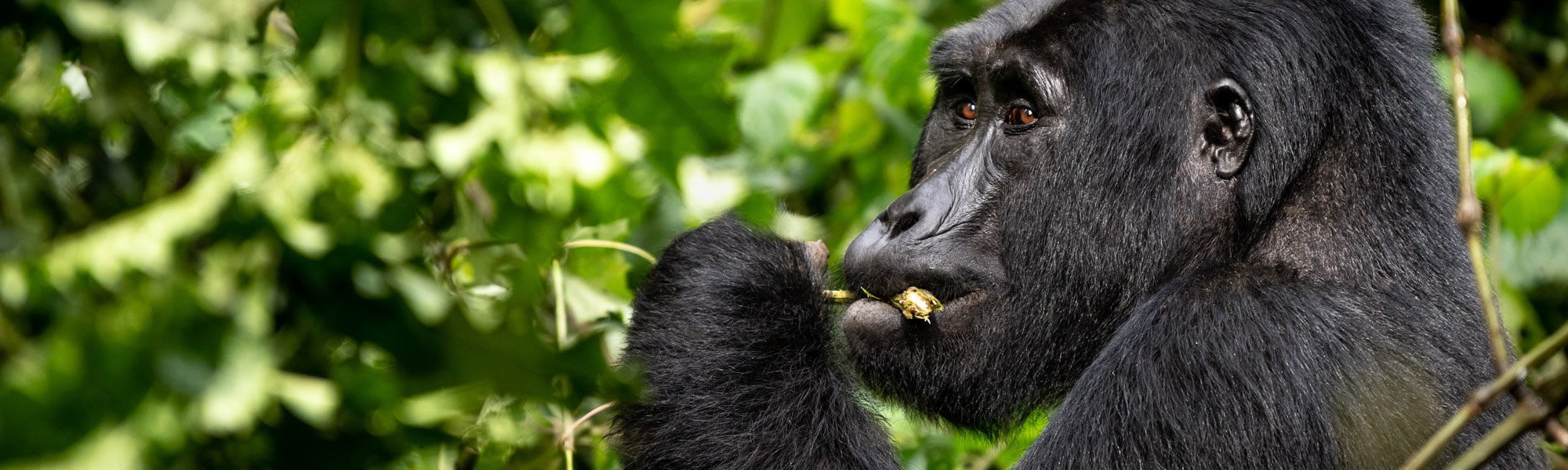 Bwindi Impenetrable Forest National Park Uganda Gorilla Trekking – Uganda Gorilla Tours And Gorilla Safaris