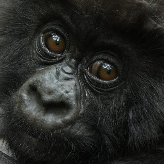 Luxury Gorilla Tour Uganda
