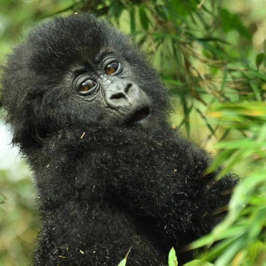 Double Gorilla Tracking, Bwindi Impenetrable Forest National Park