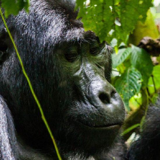 primate tracking Bwindi Impenetrable Forest National Par, mountain gorilla trackingk,