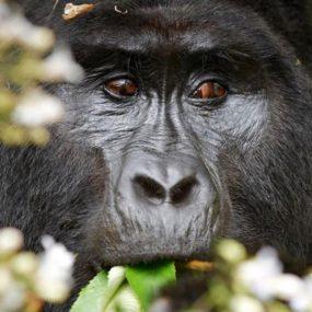 Mountain Gorilla Tracking, white rafting uganda