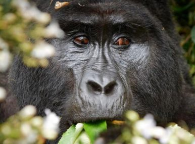 Mountain Gorilla Tracking, white rafting uganda