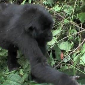 Gorilla trip from Kigali