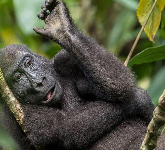 Gorilla habituation tour
