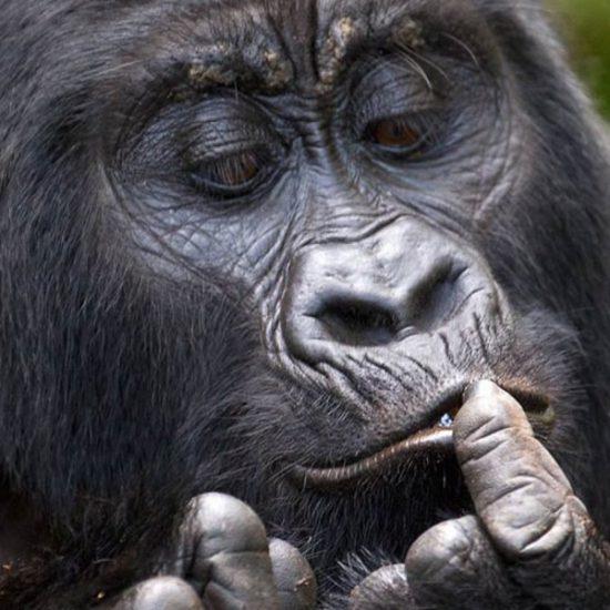 gorilla wildlife safari