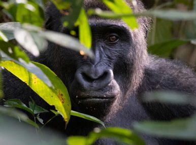 Budget Gorilla Safari Uganda