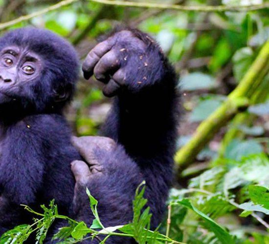 Uganda Gorilla Flying safari