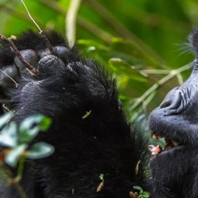 Luxury Gorilla Trekking Tou Bwindi Impenetrable Forest National Park