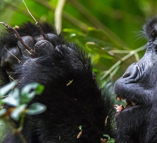 Luxury Gorilla Trekking Tou Bwindi Impenetrable Forest National Park