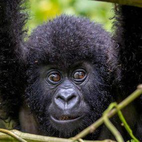 Luxury Gorilla Trekking , Uganda Gorilla Trekking From Kigali