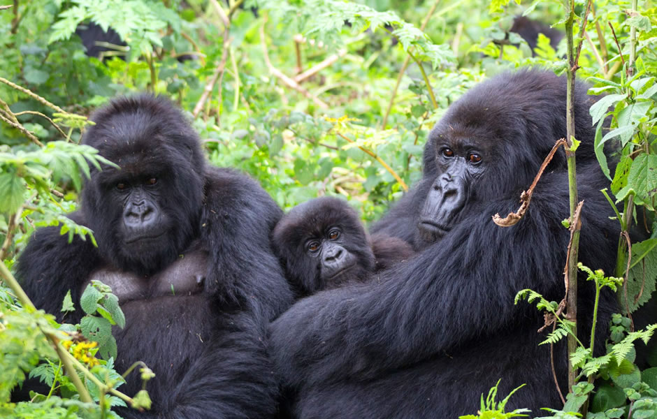 Gorilla families that can be visited in Ruhija sector of Bwindi Impenetrable National park