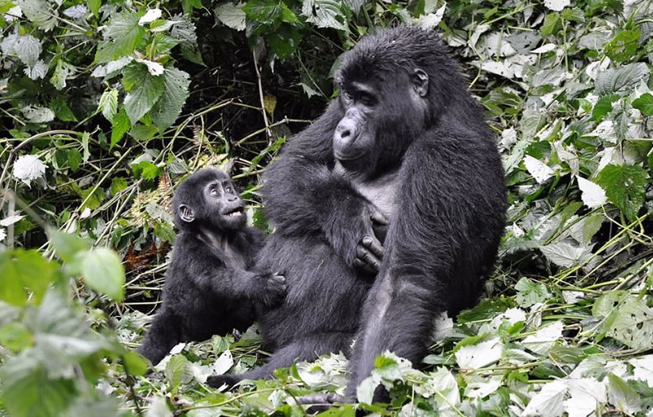 Best sector for gorilla safaris, Bwindi Impenetrable National Park is one of the best National Parks located in Southwestern Park of Uganda