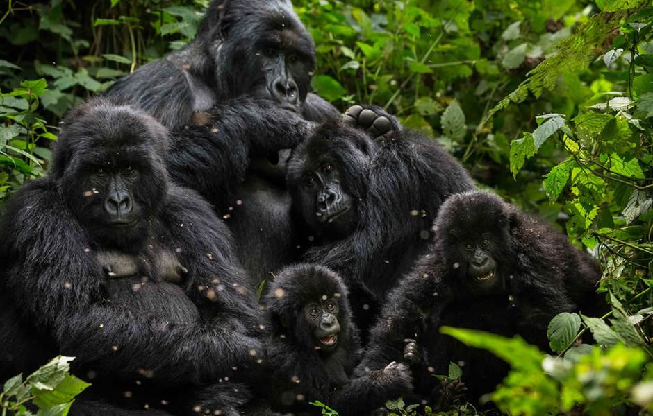 Rushegura gorilla group family