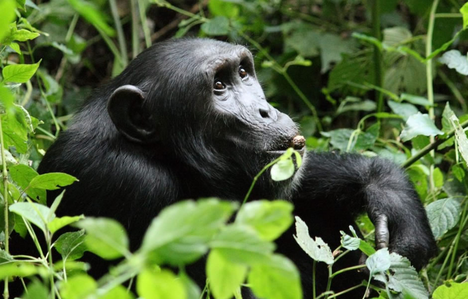 chimpanzees habituation in Bwindi Impenetrable National Park