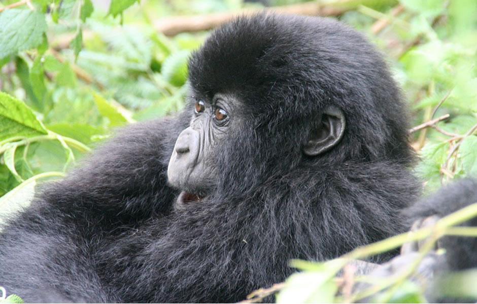 Nkuringo Sector, Nkuringo gorilla trekking