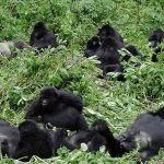 mountain gorilla families