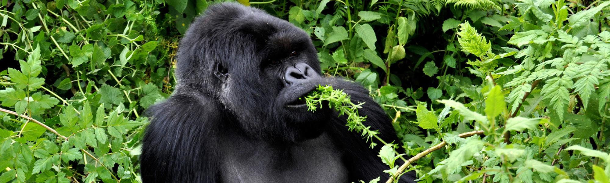 Uganda with an optional gorilla African trek to Rwanda' volcano national park and Virunga gorilla national park in Democratic republic of Congo