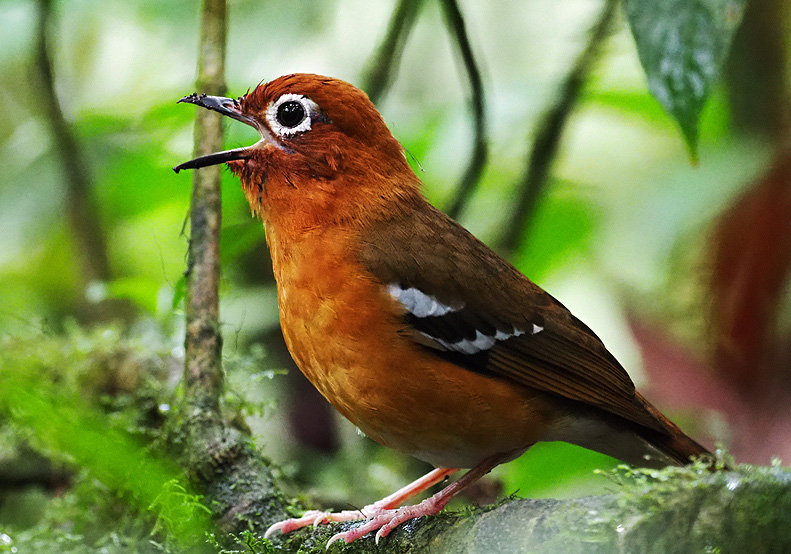 Bird watching in Mgahinga national park