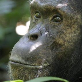 Chimpanzee and Wildlife Safari