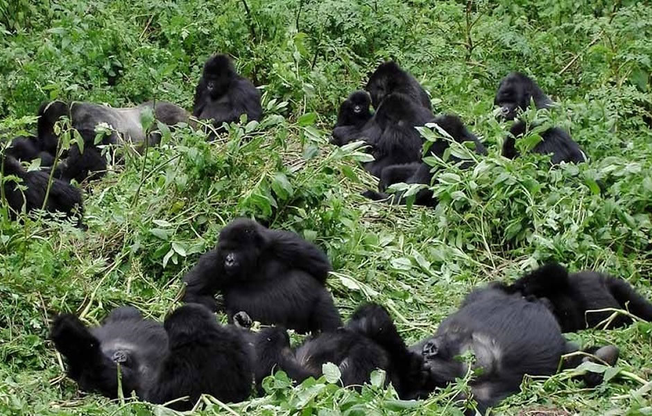 Nyakagezi gorilla family in Mgahinga National Park