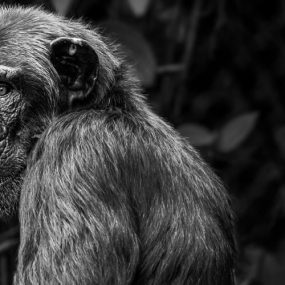 Chimpanzee Trekking Safari in Kibale National Park
