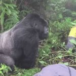 Are mountain gorillas friendly
