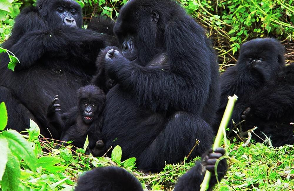 Differences between gorilla trekking in Uganda and Rwanda