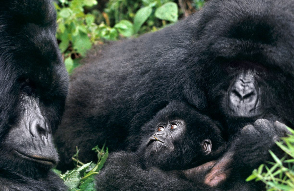 How difficult is it to track gorillas