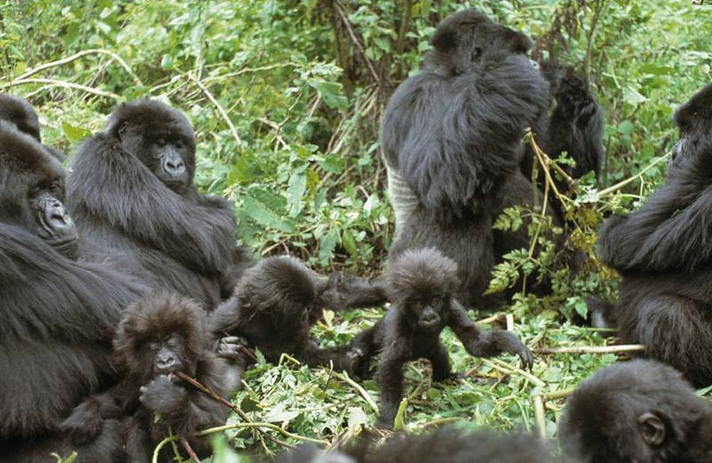 How long do baby gorillas stay with their mothers