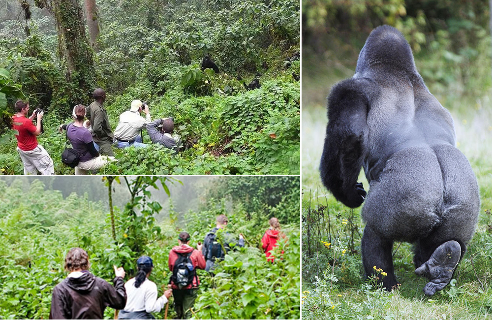 How long is gorilla trekking in Bwindi