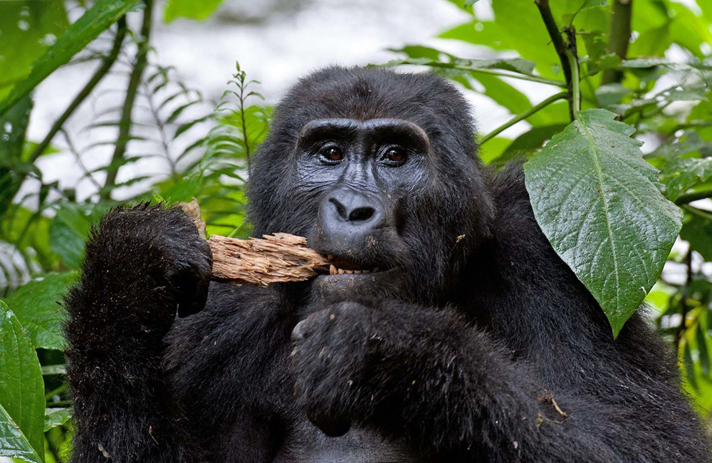 How many gorilla families are in Bwindi Impenetrable Forest