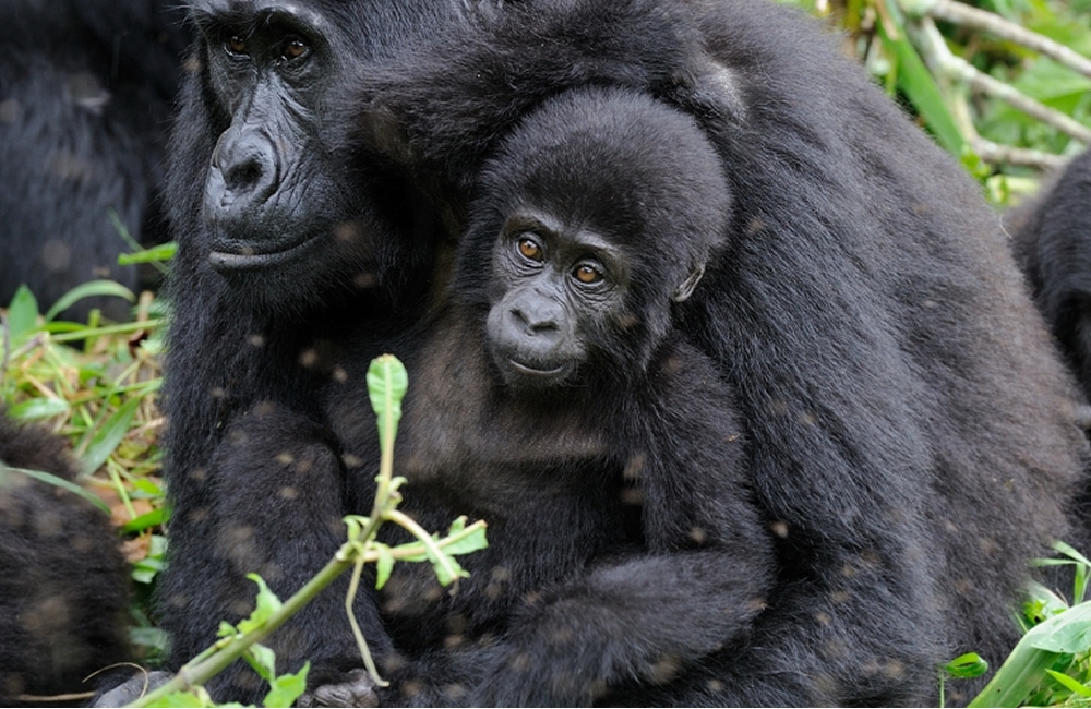 How many gorillas are in Bwindi forest Gorilla Park