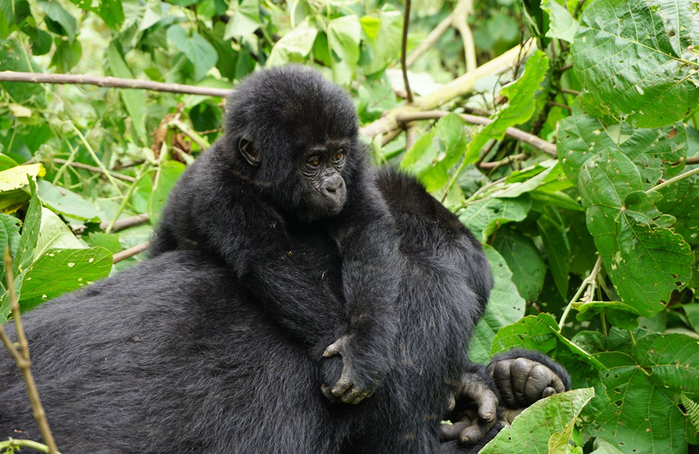 How much does it cost to see gorillas in Uganda