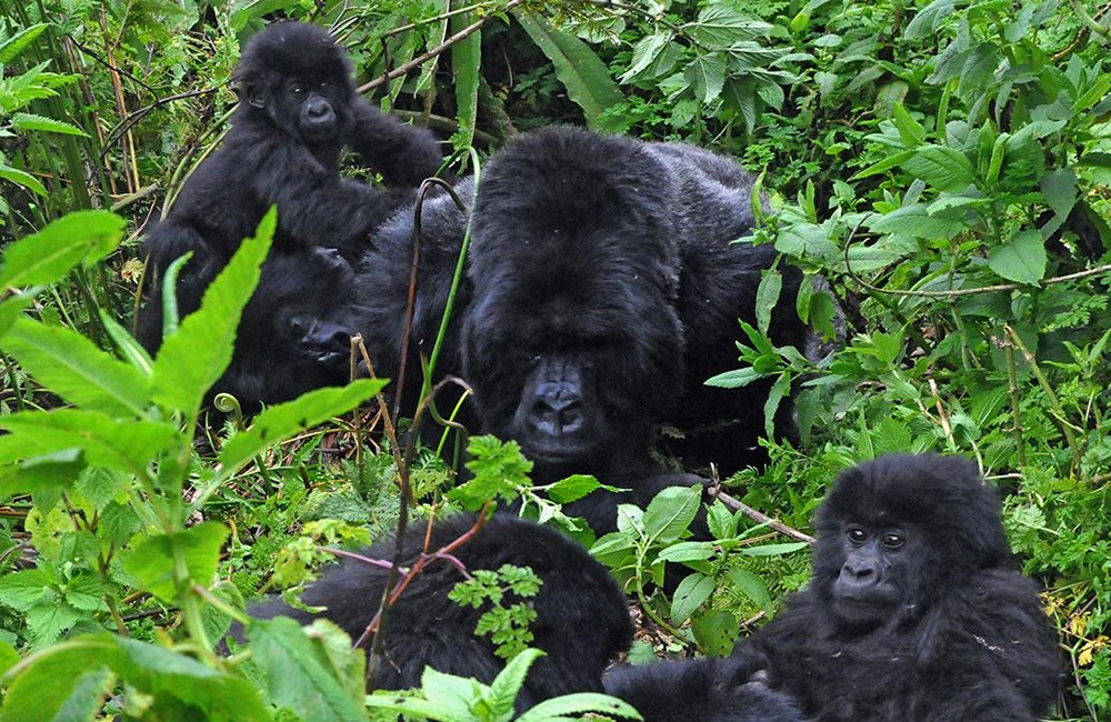 Why is gorilla trekking expensive, mountain gorillas