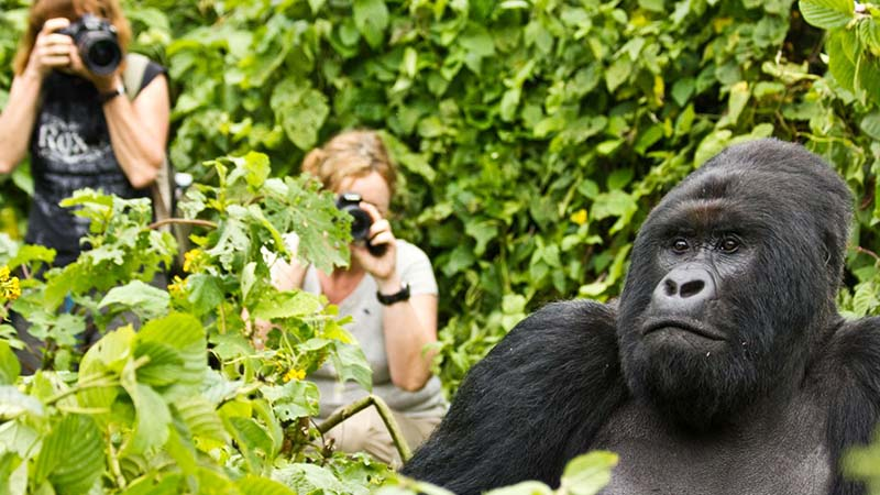 What are silverbacks, mountain gorilla