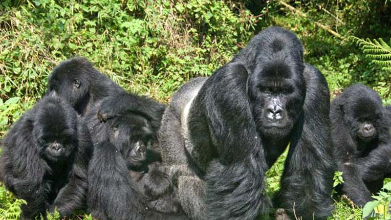 What are the chances of seeing gorillas in Bwindi Uganda?