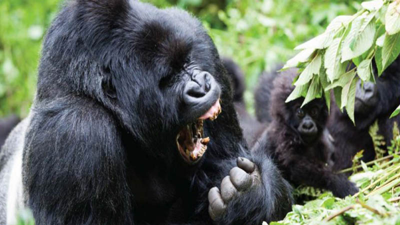What are gorilla trekking rules?