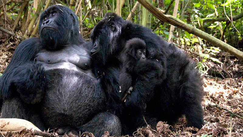 What is the minimum age for gorilla trekking in Uganda
