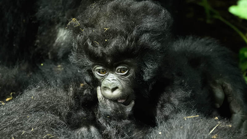 Is it possible to trek Uganda gorillas from Kigali